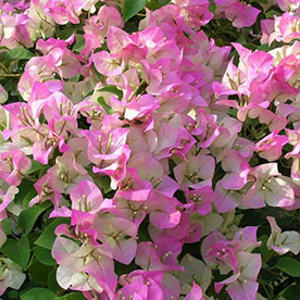 Bougainvillea Variegated Pink And White Flower Plant