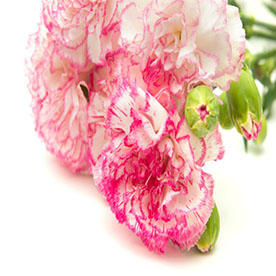 Carnation (Any Color) Plant