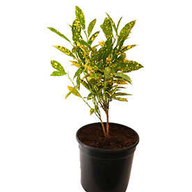 Croton Gold Dust Small Leaves Plant