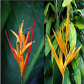 Heliconia Psittacorum, Heliconia Lady Diana Red Plant