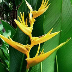 Heliconia Psittacorum Golden Tourch, Heliconia Lady Diana Yellow  Plant