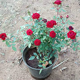 Miniature Rose, Button Rose Maroon Plant