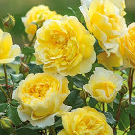 Miniature Rose, Button Rose Yellow Plant