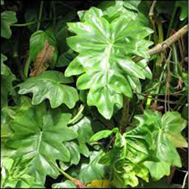 Philodendron Lacerum Plant
