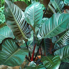 Philodendron Red Congo Plant