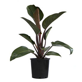 Philodendron Congo, Philodendron Tatei  Plant