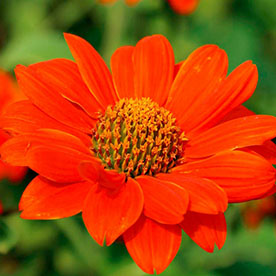 Tithonia Torch Red Flowering Seeds