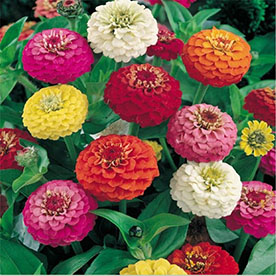 Zinnia Elegans F1 Giant Mixed Color Flowering Seeds