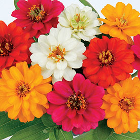 Zinnia Double Mixed Color Flowering Seeds