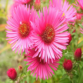 Aster Pink Plant