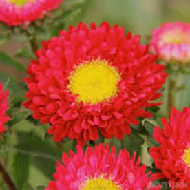 Aster Red  Plant