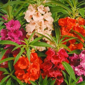 Balsam Double Mixed Color Flowering Seeds