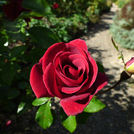English Rose Red - Plant