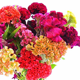 Cockscomb Mixed Color Flowering Seeds